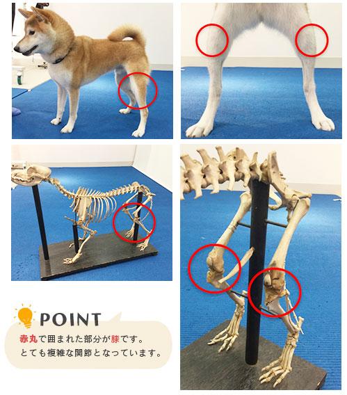 犬の膝蓋骨脱臼